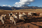 Sheep are herded across a field high up in the Andean mountain range.