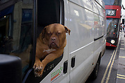 A pet Dogue de Bordeaux dog sits leaning out of the front passenger seat of a white courier van in central London. The Dogue de Bordeaux, Bordeaux Mastiff, French Mastiff or Bordeauxdog is a large French Mastiff breed—and one of the most ancient French dog breeds.