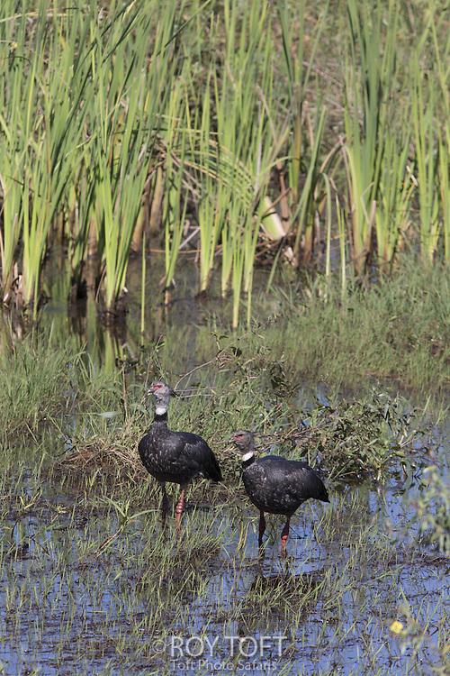 Southern Screamer (Chauna torquata), Pantanal, Brazil