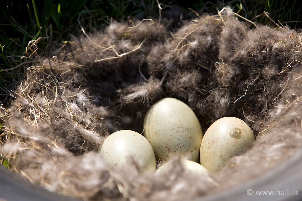 Eggs in a nest at Illugastadir, north of Iceland - Hreiðurog egg að Illugastöðum á Vatnsnesi