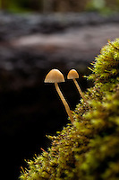 The tiny Mycena clavicularis growing on a moss covered log on a chilly autumn morning on the forested slopes of Mount Rainier.