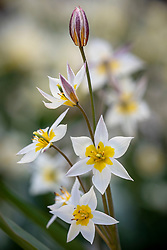Tulipa turkestanica AGM
