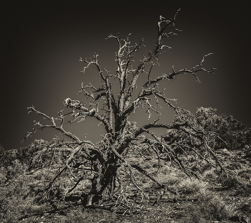 A dead tree located in the hills in Death Valley California.