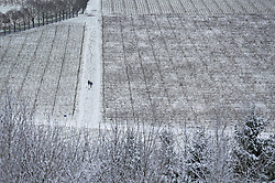 © Licensed to London News Pictures. 17/01/2016. Dorking, UK. People walk through snow covered vines on the Denbies Wine Estate. Snow has fallen in the South East for the first time this winter. Photo credit: Peter Macdiarmid/LNP