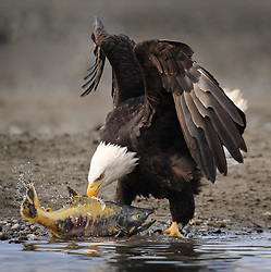 A bald eagle (Haliaeetus leucocephalus) drags a chum salmon (Oncorhynchus keta) onto the gravel bar of the Chilkat River in the Alaska Chilkat Bald Eagle Preserve near Haines, Alaska. During late fall, bald eagles congregate along the Chilkat River to feed on salmon. This gathering of bald eagles in the Alaska Chilkat Bald Eagle Preserve is believed to be one of the largest gatherings of bald eagles in the world.