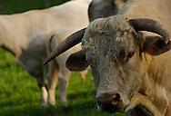 17/05/06 - VINZELLES - PUY DE DOME - FRANCE - Elevage bovin allaitant. taureau Charolais - Photo Jerome CHABANNE