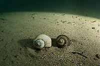 """Apple snail (Ampullariidae) shells at the bottom of a river in Bonito, Mato Grosso Sul, Brazil. Photographed while filming Tales by Light, Season 2, Episode 3, """"Misunderstood Predators"""", for Netflix and National Geographic Australia. August, 2016."""