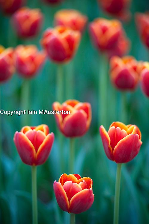 Red tulips in famous Keukenhof Garden in Lisse Netherlands April 2009