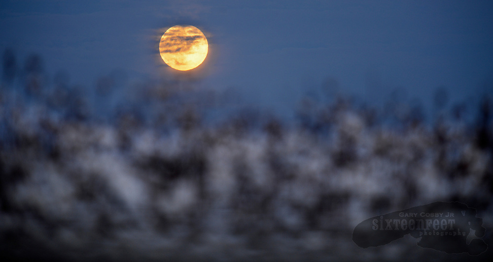 Photo by Gary Cosby Jr.   A harvest moon rises over a cotton field in Limestone County Monday evening, October 29, 2012.