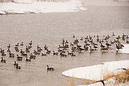 Canada Geese, (Branta canadensis),  winter, Yellowstone River, south of Livingston, Montana