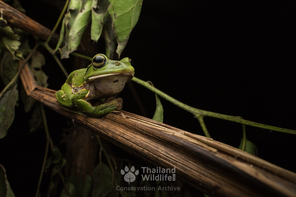 Giant Flying Frog (Rhacophorus maximus) in situ in Kaeng Krachan national park, Thailand