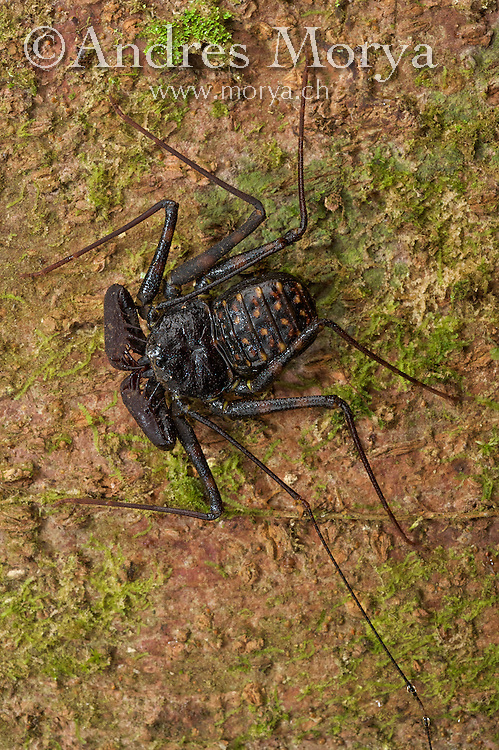 Whip Spider Or Tailess Whip Scorpion, Costa Rica, Central America Image by Andres Morya