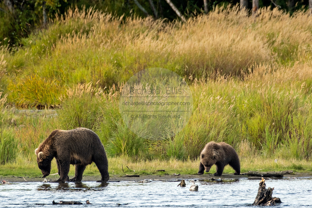 A Brown Bear sow and cub walk along the banks of the lower Brooks River in search of Sockeye Salmon in Katmai National Park and Preserve September 16, 2019 near King Salmon, Alaska. The park spans the worlds largest salmon run with nearly 62 million salmon migrating through the streams which feeds some of the largest bears in the world.