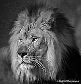 Memphis Zoo - Black & White