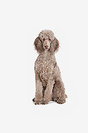 Standard poodle sitting on a white background looking at the camera with her mouth closed