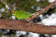 Yellow-crowned parakeet, Ulva Island, New Zealand