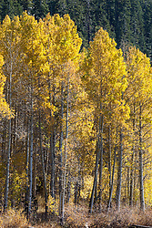 """Aspens at Marlette Lake 2"" - These aspens were photographed in the fall at Marlette Lake, Nevada."