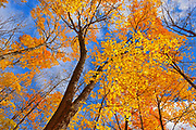 sugar maple trees (Acer saccharum), Parry Sound, Ontario, Canada
