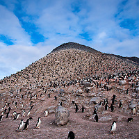 Adelie penguins are a penguin species common to the Antarctic coast.  They are named after the wife of French explorer Jules Dumont d'Urville who discovered the penguins.