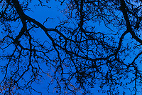 Tree branches against deep blue sky at twilight.