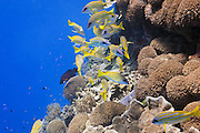 bluestripe snapper (lutjanus kasmira) over pachyseris foliosa coral on tropical coral reef - Agincourt reef, Great Barrier Reef, Queensland, Australia.
