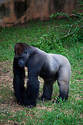 Belo Horizonte_MG, Brasil...Gorila IDI Amim, do zoologico de Belo Horizonte, o unico da America do Sul. Chegou ao zoo em 1975 aos dois anos de idade. Ele e a principal atracao do zoologico...The male gorilla IDI Amim (Belo Horizonte Zoological and Botanical Garden Foundation, Brazil), He is the the only one in South America. He is the main attraction of the zoo...Foto: LEO DRUMOND / NITRO