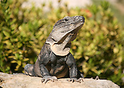 A Mexican wild Iguana sunning itself on a mound of rocks in the Yucatan sun.