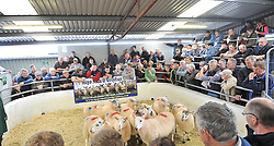 Mayo Mule and Greyface Sheep Sale in Ballinrobe.<br /> Pic Conor McKeown