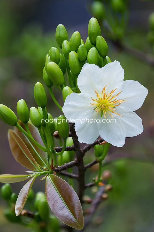 Vietnam Images-Flower-Apricot-New year -Hoàng thế Nhiệm
