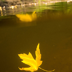 Silver maple leaves float in the Ashuelot River in Keene, New Hampshire.