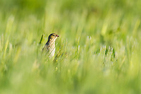 Female southern red bishop perched in the middle of a field of wheat, Overberg, Western Cape, South Africa
