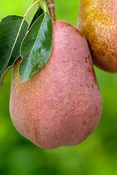 Pear 'Rainier Red' - Pyrus