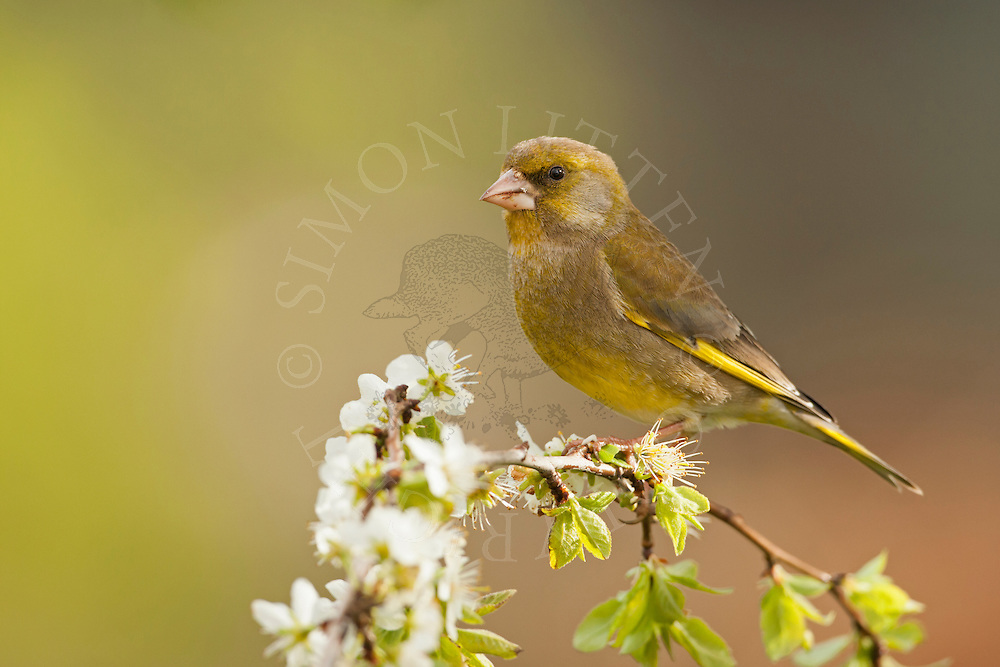 Greenfinch (Carduelis chloris) adult male, perched on branch, spring, Norfolk, UK.