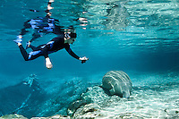 Florida manatee, Trichechus manatus latirostris, a subspecies of the West Indian manatee, endangered. A polite snorkeler with a GoPro camera takes video of a manatee resting. He is keeping a respectful distance away while floating over the large springhead in this series of peaceful passive interaction, observation, with beautiful reflections. Horizontal orientation with mixing blue spring and green waters. Three Sisters Springs, Crystal River National Wildlife Refuge, Kings Bay, Crystal River, Citrus County, Florida USA.