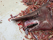 That's no shrimp! Florida shrimp fishermen accidentally net the second ever 'prehistoric' goblin shark that's 18-FEET-LONG, pink, and pointy teeth<br /> <br /> Shrimpers fishing in the Gulf of Mexico accidentally netted a prehistoric looking goblin shark that is the rarest of all sharks ever to be seen by human eyes.<br /> The goblin shark nabbed off Key West, Florida which was 18-feet-long, pink, and has a long snout to conceal it pointy teeth from prey is the second ever of its kind to be seen in the Gulf.<br /> The goblin shark is known to live in the deep waters of Japan and a Gulf sighting is so rare that its the first in over 10 years.<br /> <br /> SF Gate reports that the goblin sighting 10-years-ago was so exciting for researchers that a scientific paper was written.<br /> The crew of fisherman who made the latest catch had a net 2,000 feet under water and were shocked to find a massive pink shark among the shrimp they catch on a daily basis. <br /> The prehistoric looking creature sometimes called the 'living fossil' thrashed on the deck and had teeth so sharp that the fishermen were too afraid to pull out the tape measure and hold it up to the mysterious creature.<br /> 'I didn't even know what it was,' said fisherman Carl Moore to SF Gate.<br /> 'I didn't get the tape measure out because that thing's got some wicked teeth, they could do some damage.'<br /> <br /> Instead of keeping the shark to do research, Moore decided to snap a quick photo of the fish with his cell phone then release it back into the water.<br /> Moore showed a photo of the shark to his grandson who was thrilled with the discovery.<br /> 'My 3-year-old grandson, he just loves sharks so I've been taking pictures of every one we find, when I showed him this one he said, 'Wow, Pappa!' Moore said.<br /> The shark was netted on April 19th but it wasn't until yesterday that Moore reported his catch to the National Oceanic and Atmospheric Administration.<br /> Based on photographs researchers guessed that the shark was a female and at least 18-feet-long.<br /> 'This is great news,' said John