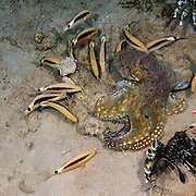 Day Octopus (Octopus cyanea). (order Octopoda). This marine invertebrate is a cephalopod mollusc. The octopus has a large brain and well-developed eyes. Eight tentacles form a ring around its mouth (a horny beak, not seen). It swims by jet propulsion with its body sac (upper left), or it crawls over rock surfaces. It lives in a cave or a crevice in rocks, emerging to hunt. Its prey is mostly crabs and lobsters, which it paralyses by injecting a poison. Some octopuses can reach a length of over one metre. Octopuses can vary their skin colour and may eject a cloud of ink when alarmed. Photographed in the Red Sea Israel
