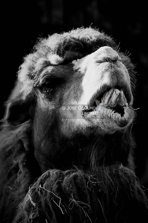 Camel smile to camera
