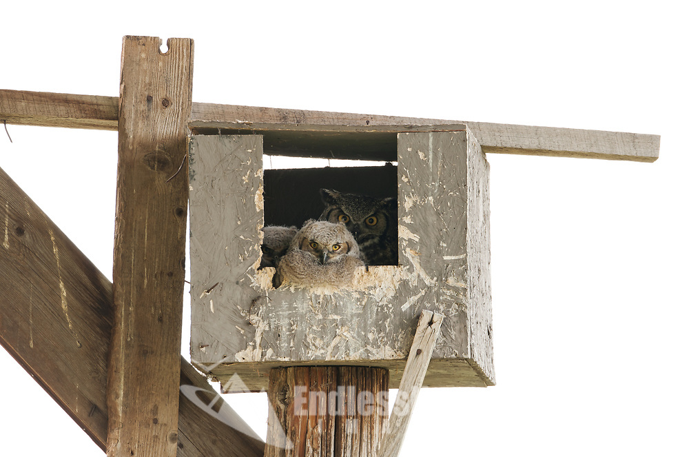 Great Horned Owls making use of a man made nesting box in an old pole hay shed.