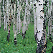 Aspens in summer in Gunnison National Forest, Colorado.