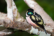 A Black-and-yellow Broadbill (Eurylaimus ochromalus)in the sub-canopy of lowland rainforest in the Sepilok Forest Reserve, Sabah, Malaysian Borneo.