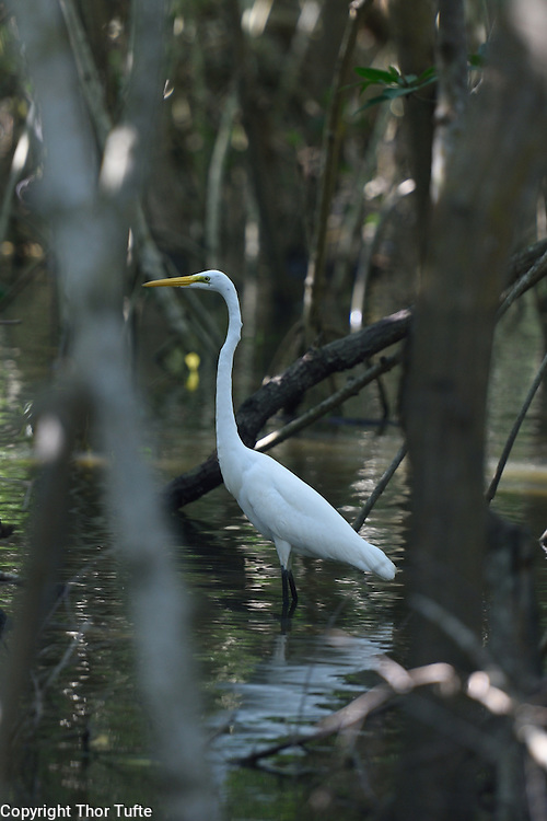 Great Egret in Rio Soco, Dominican Republic.