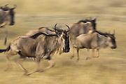 Wildebeest<br /> Connochaetes taurinus<br /> Running<br /> Masai Mara Reserve, Kenya