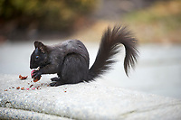 Eastern gray squirrel or grey squirrel (Sciurus carolinensis) - melanistic subgroup, St. James' Cathedral, Toronto , Ontario, Canada
