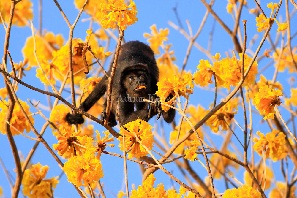 Mantled Howler Monkey (Alouatta palliata) male feeding on Yellow Cortez (Tabebuia ochracea) flowers in tropical dry forest near Conchal Beach, Guanacaste, Costa Rica. <br />