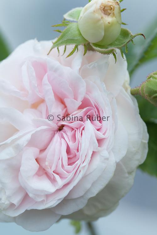 Rosa 'Félicité Parmentier' - alba rose