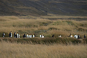 King penguins (Aptenodytes patagonicus)<br /> Colony on Tierra del Fuego<br /> Magellanic region of Southern Chile
