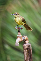 Yellow-Bellied Greenbul perched on a dry tap during a drought, Phinda private Game Reserve, KwaZulu Natal, South Africa