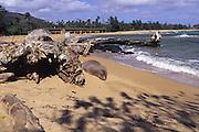Hawaiian monk seal, Wailua Beach, Kauai, Hawaii<br />