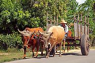 Oxen in Velasco, Holguin, Cuba.