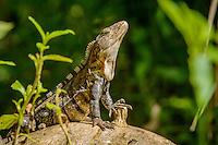 Black Ctenosaur [Ctenosaura similis] sunning; Hacienda Baru Wildlife Refuge, Costa Rica